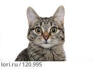 Купить «Молодая любопытная кошка», фото № 120995, снято 15 ноября 2007 г. (c) Круглов Олег / Фотобанк Лори