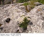 """Купить «""""Каменный"""" цветок - Борщевик Стевена – Heracleum stevenii Manden», фото № 121071, снято 5 августа 2007 г. (c) Вячеслав Потапов / Фотобанк Лори"""