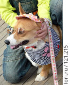 Купить «Собака наряженная как ребенок», фото № 121215, снято 27 октября 2007 г. (c) Вера Тропынина / Фотобанк Лори
