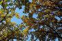 Крона дуба с желтыми листьями, фото № 126075, снято 22 сентября 2007 г. (c) Юрий Синицын / Фотобанк Лори
