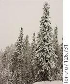 Купить «Ели в снегу», фото № 126731, снято 25 ноября 2007 г. (c) Куприянов Евгений / Фотобанк Лори