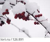 Купить «Ягоды рябины в снегу», фото № 126891, снято 16 ноября 2007 г. (c) Ольга Хорькова / Фотобанк Лори