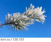 Купить «Ветвь сосны, покрытая инеем», фото № 130151, снято 18 декабря 2005 г. (c) Serg Zastavkin / Фотобанк Лори