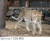 Купить «Персидский леопард», фото № 134455, снято 10 октября 2004 г. (c) Serg Zastavkin / Фотобанк Лори