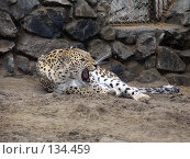 Купить «Персидский леопард», фото № 134459, снято 10 октября 2004 г. (c) Serg Zastavkin / Фотобанк Лори