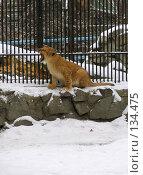 Купить «Львенок», фото № 134475, снято 7 ноября 2004 г. (c) Serg Zastavkin / Фотобанк Лори