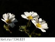 Купить «Рутовник саянский Callianthemum sajanense», фото № 134831, снято 14 августа 2006 г. (c) Serg Zastavkin / Фотобанк Лори
