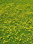 Одуванчики, фото № 134879, снято 20 мая 2005 г. (c) Serg Zastavkin / Фотобанк Лори