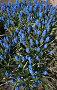 Мышиный гиацинт Голубой мускари. Blue Muscari, фото № 134999, снято 22 мая 2006 г. (c) Serg Zastavkin / Фотобанк Лори