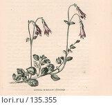 """Купить «Линнея северная, Linnea borealis, иллюстрация из книги """"Flowers of the field"""", издано в Лондоне в 1888, ручная раскраска», иллюстрация № 135355 (c) Tamara Kulikova / Фотобанк Лори"""