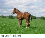 Купить «Жеребенок гуляет в поле», фото № 135495, снято 22 мая 2006 г. (c) Анастасия Некрасова / Фотобанк Лори