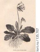 """Купить «Примула весенняя, Primula veris, иллюстрация из книги """"Flowers of the field"""", издано в Лондоне в 1888», иллюстрация № 135707 (c) Tamara Kulikova / Фотобанк Лори"""