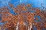 Пышная Крона осенней березы, фото № 137159, снято 30 сентября 2007 г. (c) Михаил Николаев / Фотобанк Лори