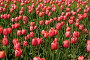 Розовые тюльпаны, фото № 139535, снято 28 мая 2007 г. (c) Бутинова Елена / Фотобанк Лори