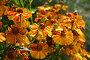 Оранжевые Цветы и Пчелы, фото № 141891, снято 3 сентября 2005 г. (c) Елена Мусатова / Фотобанк Лори