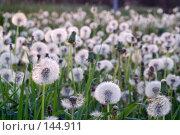Купить «Одуванчики в поле», фото № 144911, снято 31 мая 2007 г. (c) Сергей Пестерев / Фотобанк Лори