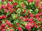 Стена роз, фото № 150543, снято 23 июня 2007 г. (c) Дмитрий Никитин / Фотобанк Лори