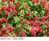 Купить «Стена роз», фото № 150543, снято 23 июня 2007 г. (c) Дмитрий Никитин / Фотобанк Лори