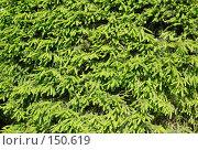 Купить «Фон стены деревьев туи», фото № 150619, снято 10 июня 2007 г. (c) Дмитрий Ощепков / Фотобанк Лори