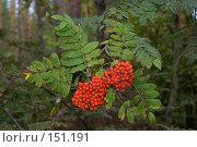 Купить «Рябина красная», фото № 151191, снято 10 сентября 2006 г. (c) Вячеслав Потапов / Фотобанк Лори