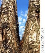 Купить «Облака за березами», фото № 151367, снято 8 апреля 2007 г. (c) Бяков Вячеслав / Фотобанк Лори
