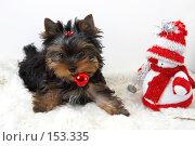Купить «Щенок йоркширского терьера  с новогодней игрушкой в зубах», фото № 153335, снято 23 сентября 2007 г. (c) Ирина Мойсеева / Фотобанк Лори