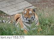Купить «Уссурийский тигр», фото № 153771, снято 23 сентября 2007 г. (c) Иван Мацкевич / Фотобанк Лори