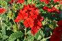 Яркие красные уличные цветы на клумбах, фото № 153783, снято 26 сентября 2007 г. (c) Иван Мацкевич / Фотобанк Лори