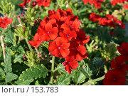 Купить «Яркие красные уличные цветы на клумбах», фото № 153783, снято 26 сентября 2007 г. (c) Иван Мацкевич / Фотобанк Лори