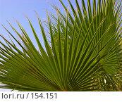 Купить «Веерная пальма на фоне голубого неба», фото № 154151, снято 8 августа 2007 г. (c) Светлана Силецкая / Фотобанк Лори