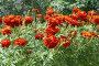 Бархатцы на фоне деревьев, фото № 155123, снято 30 июля 2007 г. (c) Солодовникова Елена / Фотобанк Лори
