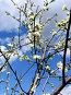 Вишня в цвету, фото № 157171, снято 14 мая 2007 г. (c) Ольга Шилина / Фотобанк Лори