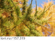 Купить «Лиственница желтеет», фото № 157319, снято 12 октября 2005 г. (c) Андрей Ерофеев / Фотобанк Лори