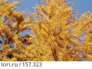 Купить «Желтеющая лиственница», фото № 157323, снято 12 октября 2005 г. (c) Андрей Ерофеев / Фотобанк Лори