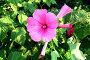 Крупный воронковидный розовый цветок лаватеры с большими лепестками и нераскрывшиеся бутоны, фото № 158979, снято 27 августа 2007 г. (c) Хайрятдинов Ринат / Фотобанк Лори