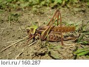 Купить «Самка прямокрылого насекомого», фото № 160287, снято 22 августа 2007 г. (c) Иванова Наталья / Фотобанк Лори