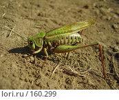 Купить «Самка прямокрылого насекомого», фото № 160299, снято 22 августа 2007 г. (c) Иванова Наталья / Фотобанк Лори