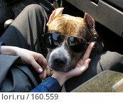 Купить «Бойцовская собака в очках», фото № 160559, снято 23 января 2019 г. (c) Огульчанский Александер / Фотобанк Лори