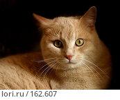 Купить «Британский кот», фото № 162607, снято 21 апреля 2004 г. (c) Морозова Татьяна / Фотобанк Лори
