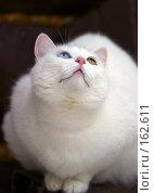 Купить «Портрет кошки с разными глазами», фото № 162611, снято 15 января 2006 г. (c) Морозова Татьяна / Фотобанк Лори