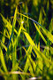 Трава в поле, освещённая Солнцем, фото № 163267, снято 28 июня 2007 г. (c) Сергей Пестерев / Фотобанк Лори