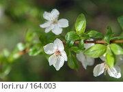Купить «Цветущая яблоня», фото № 164003, снято 19 марта 2019 г. (c) Елена Прокопова / Фотобанк Лори