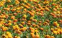 Поле оранжевых цветов, фото № 164107, снято 13 июня 2007 г. (c) chaoss / Фотобанк Лори
