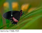 Купить «Черная бабочка с красными пятнами на листьях», фото № 166151, снято 2 января 2008 г. (c) Александр Чураков / Фотобанк Лори