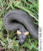 Купить «Уж», фото № 166687, снято 13 мая 2007 г. (c) Карелин Д.А. / Фотобанк Лори