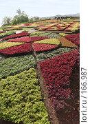 Купить «Геометрические клумбы в ботаническом саду города Фуншал (Мадейра)», фото № 166987, снято 2 января 2008 г. (c) Tamara Kulikova / Фотобанк Лори