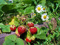 Земляника, фото № 167579, снято 2 июля 2006 г. (c) Кондратьев Игорь Витальевич / Фотобанк Лори