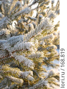 Купить «Pine \ Сосна», фото № 168819, снято 5 января 2008 г. (c) Лифанцева Елена / Фотобанк Лори