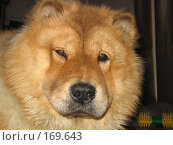 Голова рыжей собаки породы чау-чау. Стоковое фото, фотограф Светлана Белова / Фотобанк Лори