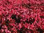 Розовая бегония, фото № 170055, снято 5 сентября 2007 г. (c) Маргарита Лир / Фотобанк Лори